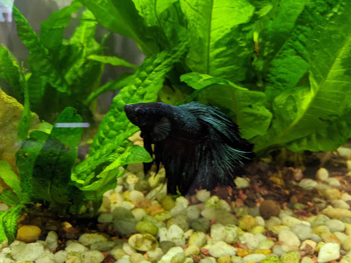 A photo of a black male beta fish in a tank with green plants and cream pebbles.