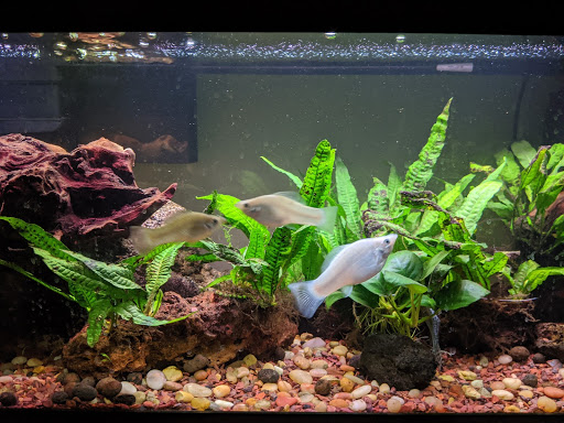 A photo of three white Molly fish in a tank with green plants and rust-colored pebbles and rock formations.
