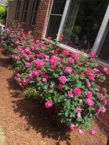 A photo of pink Knock Out roses.