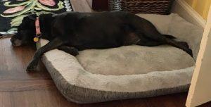 A photo of a black lab mix in a dog bed on the floor.